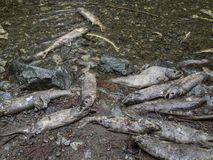 After the spawn. A cluster of Chum Salmon carcasses after spawning in British Columbia, Canada stock photography