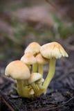 Spawn dos cogumelos Fotografia de Stock Royalty Free