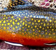 A Spawning Brook Trout Colors. Brook trout colors in the fall when the spawn is taking place Royalty Free Stock Photography