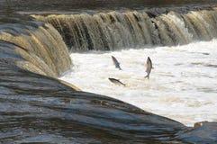 Spawning fish stock image