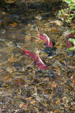 Spawning Fish Salmon Swim Stream Close To Death Royalty Free Stock Image