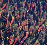 Spawning Kokanee Salmon Royalty Free Stock Photo