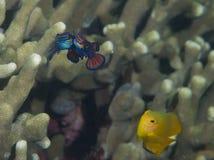 Spawning mandarinfish 02 Royalty Free Stock Images