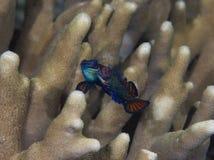 Spawning mandarinfish 01 Royalty Free Stock Image