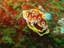 Spawning Nudibranch on hard coral Royalty Free Stock Images