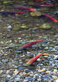 Spawning salmon Royalty Free Stock Image
