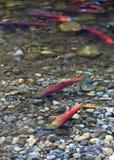 Spawning salmon Royalty Free Stock Image