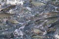 Spawning salmon stock images