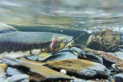 Spawning salmon Royalty Free Stock Photos