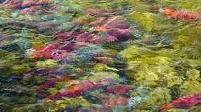 Spawning Salmon Abstract Stock Images