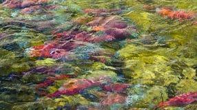 Spawning Salmon Abstract. Kokanee Salmon spawning at Taylor Creek, Lake Tahoe, Ca.  Abstract colors Stock Images