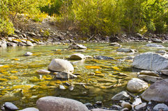 Spawning salmon dying at the end of a long journey. Royalty Free Stock Photography