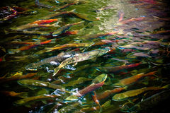 Spawning Salmon. Salmon spawning in the river Stock Image