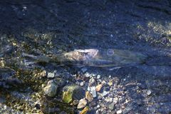 Spawning Salmon in the Shallows Royalty Free Stock Photography