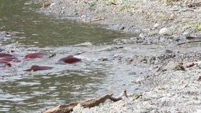 Spawning Salmon swimming stock video footage