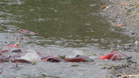 Spawning Salmon swimming stock video