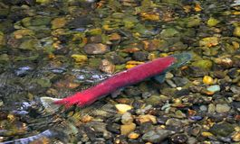 Spawning sockeye salmon royalty free stock photo