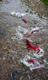 Spawning Sockeye Salmon (Oncorhynchus nerka). Stock Image