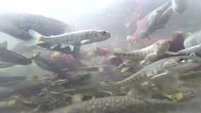 Spawning  Sockeye Salmon stock video footage