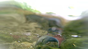 Spawning  Sockeye Salmon stock footage