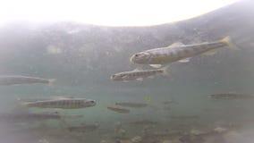 Spawning  Sockeye Salmon stock video footage