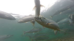 Spawning  Sockeye Salmon stock video