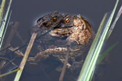 Spawning of the toads Royalty Free Stock Photo