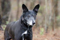 Black dog with gray muzzle and erect ears, shepherd cattledog mixed breed. Spayed female older black dog with gray muzzle, pointy erect ears, shepherd cattledog Royalty Free Stock Images