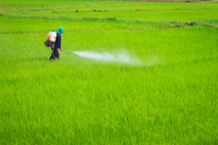 Spaying pesticide. Farmer spraying pesticide on rice field Stock Photos