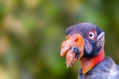 Spazio della copia di re Vulture Face With del primo piano Immagine Stock Libera da Diritti