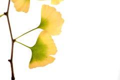 Spazio della copia isolato foglio di autunno di biloba del Gingko Fotografia Stock
