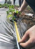 Spazio di misurazione fra le piantine del pomodoro Immagini Stock