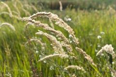 Spazzate alte dell'erba del campo Immagini Stock Libere da Diritti