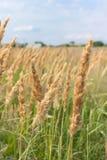 Spazzate alte dell'erba del campo contro il cielo Fotografia Stock