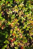 Spazzola crescente di aronia della cotogna nera della bacca e fogliame verde nascosto sui rami di un cespuglio Immagini Stock