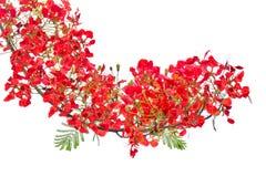 Spazzola rossa del fiore isolata Fotografie Stock