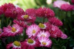 Spazzole di rosso e di rosa Immagini Stock