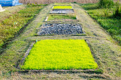 Spazzoli l'agricoltura del riso Immagini Stock