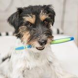Spazzolino da denti della tenuta del cane di Jack Russell Terrier Aspetti per pulire i denti per evitare l'esigenza di un dentist immagine stock