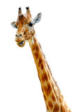 Speaking giraffe Royalty Free Stock Photo