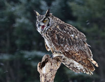 Speaking Great Horned Owl Stock Images