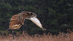 Speaking Great Horned Owl in Flight Royalty Free Stock Images