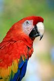 Speaking Parrot In A Park Stock Photography