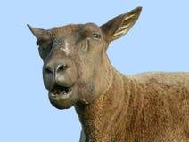 Speaking sheep Stock Image