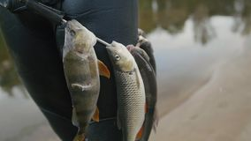 Spear fisherman shows Freshwater Fish on the belt of underwater fisherman after hunting in forest river. Close up stock video footage