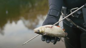 Spear fisherman shows Freshwater Fish at spear of underwater fisherman after hunting in forest river. Close up stock footage