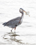 Spear fishing. A great blue heron spears flounder along the coast Stock Image