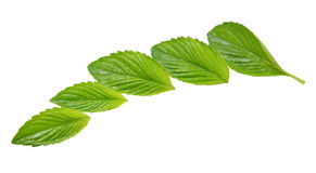 Spear Mint Leaves Stock Image