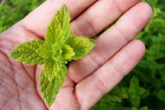 Spear mint (metha spicata) plant held in left hand. Upper part of spear mint (metha spicata) plant held in left hand with mint bush in out-of-focus background royalty free stock image