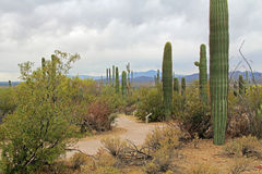 Spear Saguaro Cactus Along a Winding Path Royalty Free Stock Photo